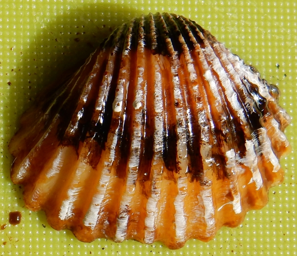 brown cockle shell detail