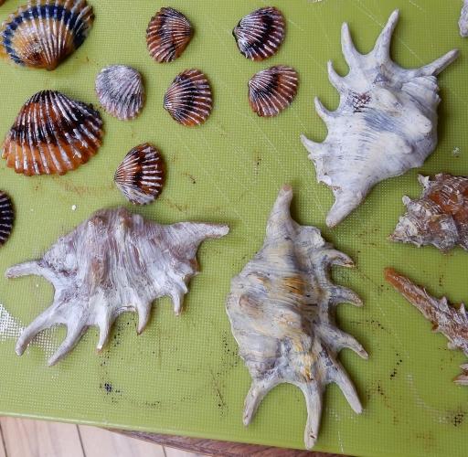 lambis shells